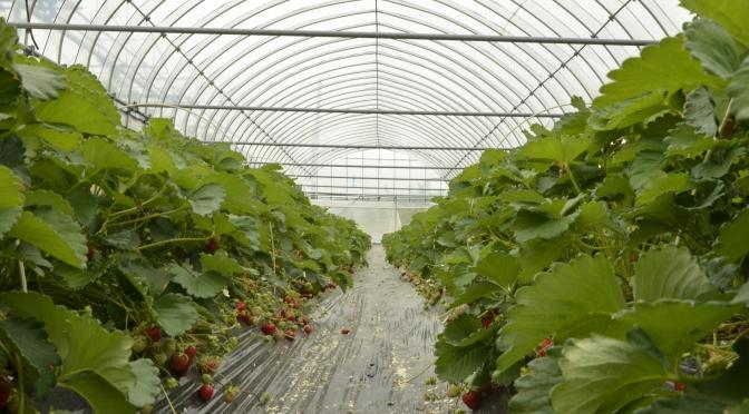 洞爺湖果園村摘水果