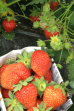 果園採摘放題