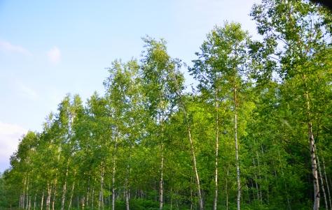 遊人亦可以走入白樺林的行人小道漫步觀賞